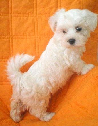 Allevamento maltese vendita cani cuccioli maltesi for Cane razza maltese