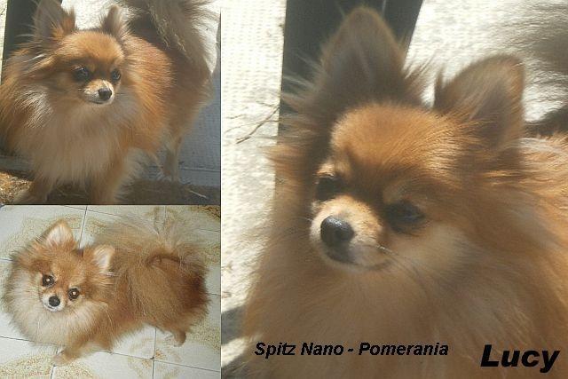 Cuccioli Razza Spitz Nanivolpini Pomerania Allevamento Cuccioli