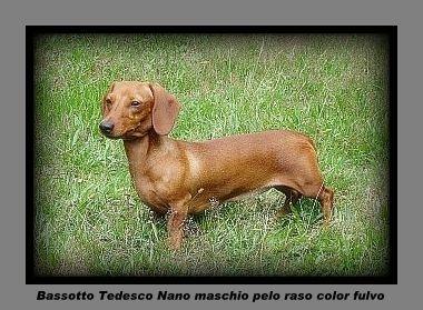 Allevamento cuccioli bassotto tedesco vendita bassotti for Bassotto nano carattere